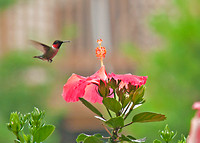 Bird Photography|Hummingbirds